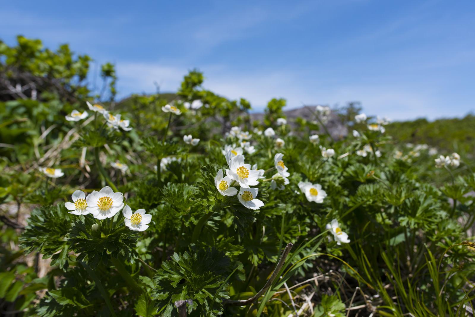 「高山に咲く白山一花(ハクサンイチゲ)」の写真