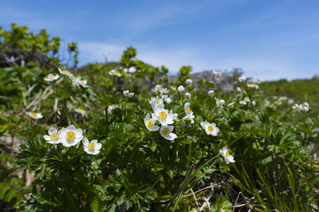 高山に咲く白山一花(ハクサンイチゲ)の写真