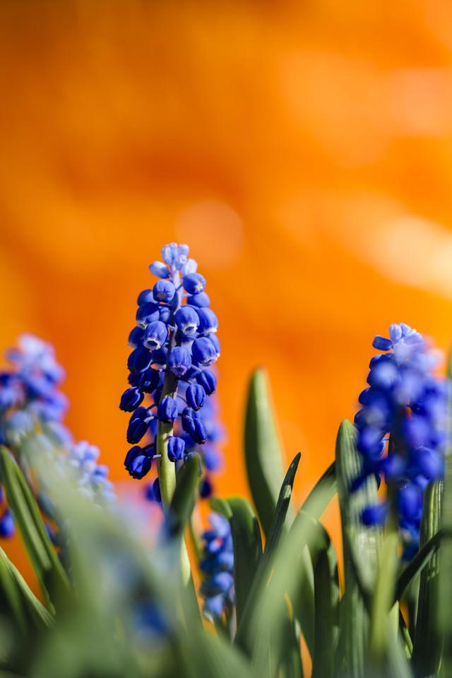 オレンジの背景とムスカリ(ブドウヒアシンス)の写真