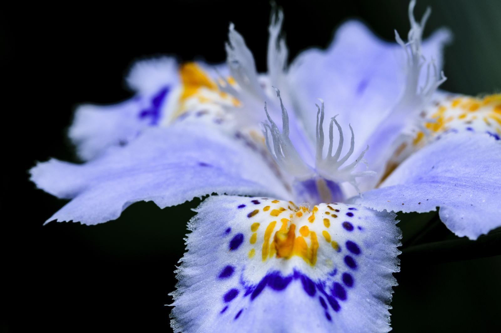 「シャガの花弁」の写真