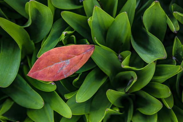 スズランの葉と落葉の写真