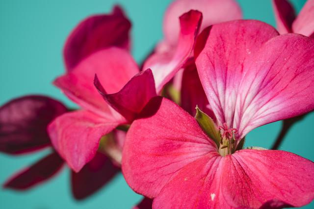 ペラルゴニウムの花の写真