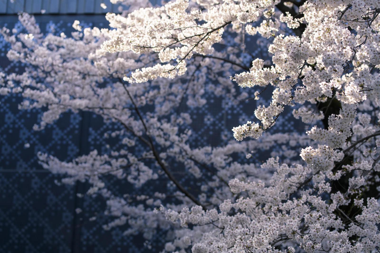 「陽光を浴びる桜」の写真
