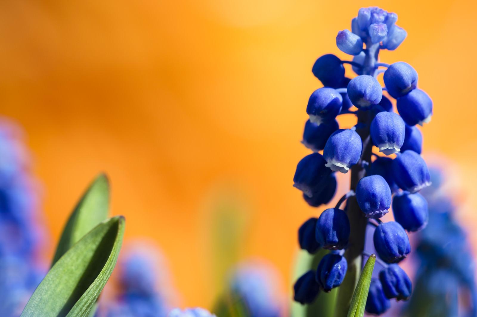 「ムスカリの花」の写真