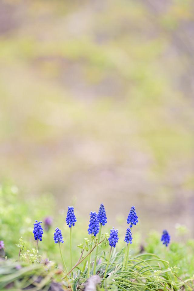 春の訪れを感じるムスカリの写真