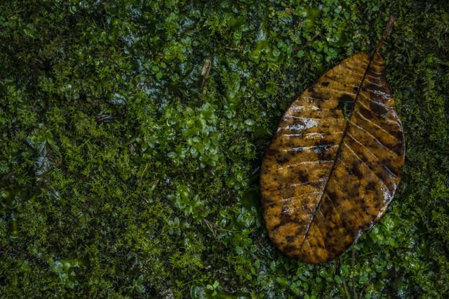 苔生す中に落ちた枯葉の写真