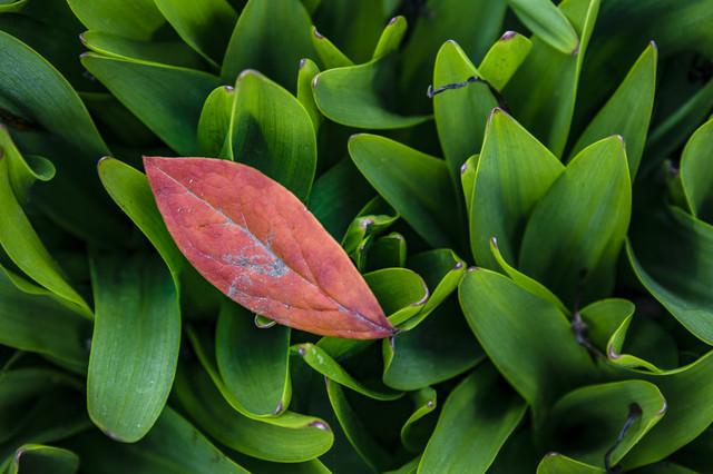 鈴蘭の葉上に落ちた枯葉の写真
