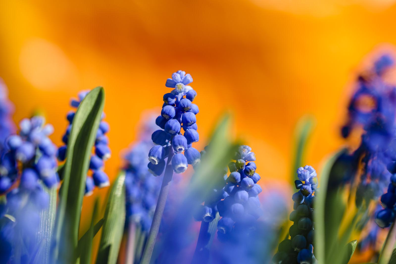 「花畑を彩るムスカリ」の写真
