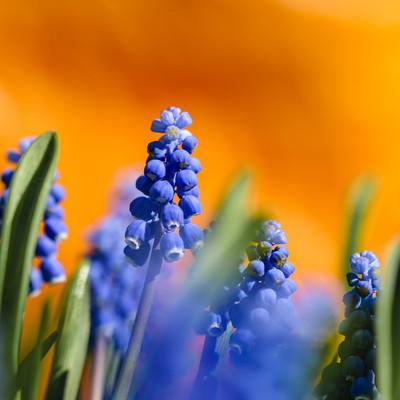 花畑を彩るムスカリの写真