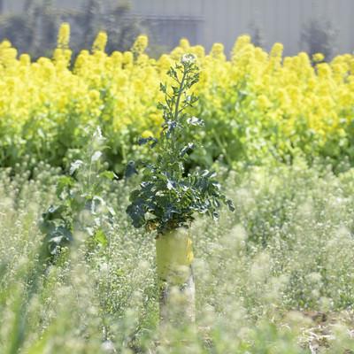 菜の花畑に咲く大根の写真