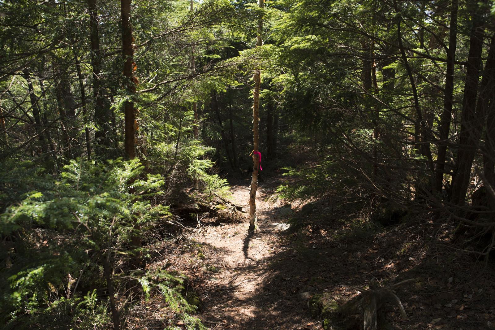 「登山道で目印のために貼られるピンクテープ」の写真