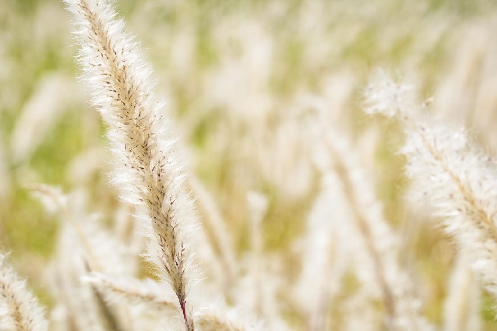 「陽光に輝くチガヤ」の写真