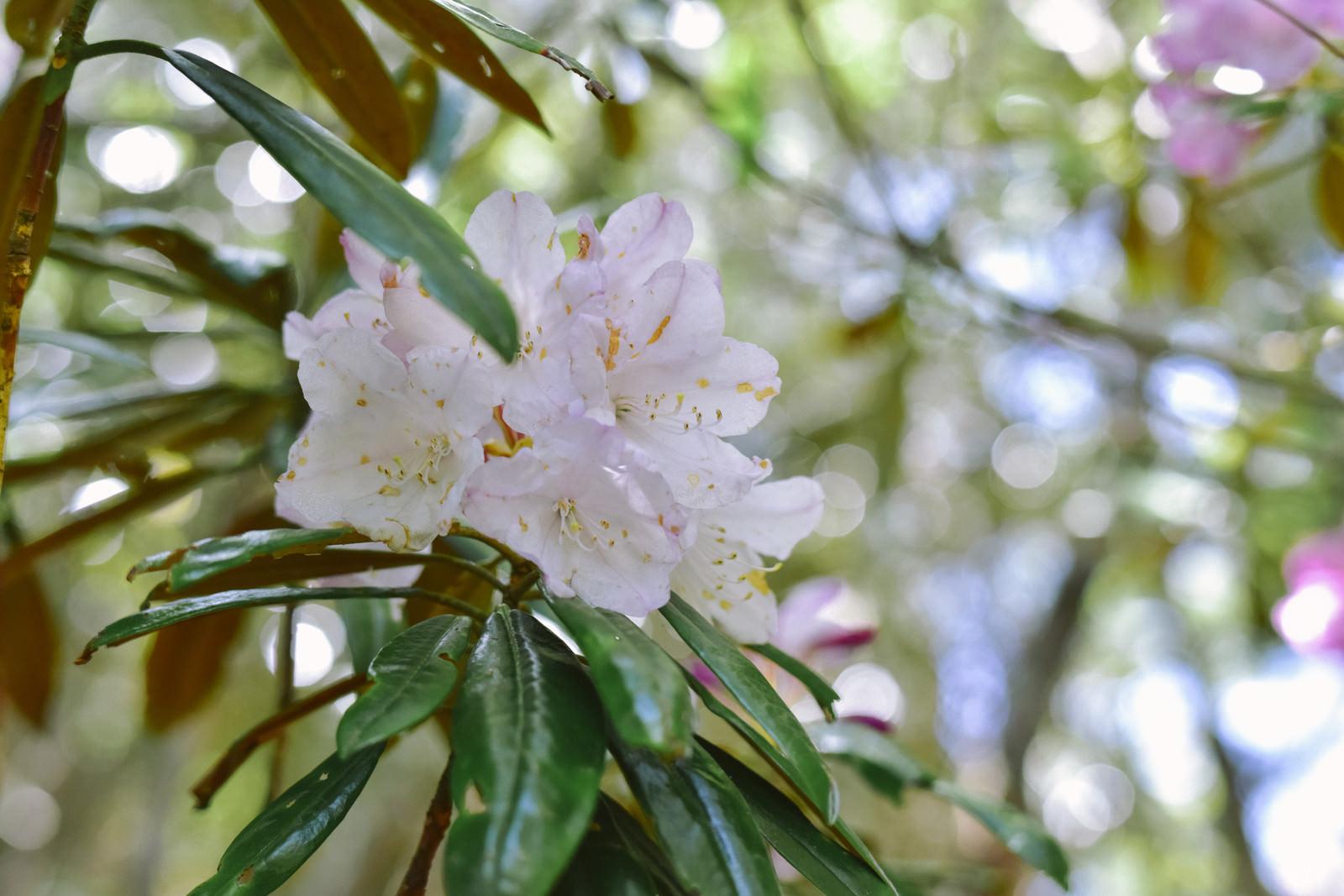 「木漏れ日の中に咲くシャクナゲ」の写真