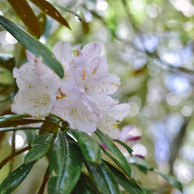 木漏れ日の中に咲くシャクナゲの写真