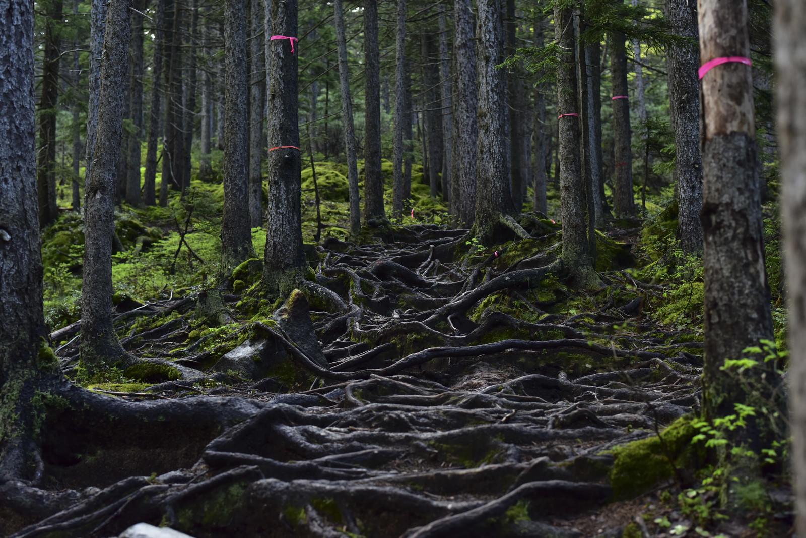 「木の根に覆われた不気味な山道」の写真