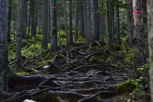 木の根に覆われた不気味な山道の写真
