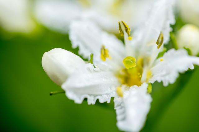 イワイチョウの花(岩銀杏)の写真