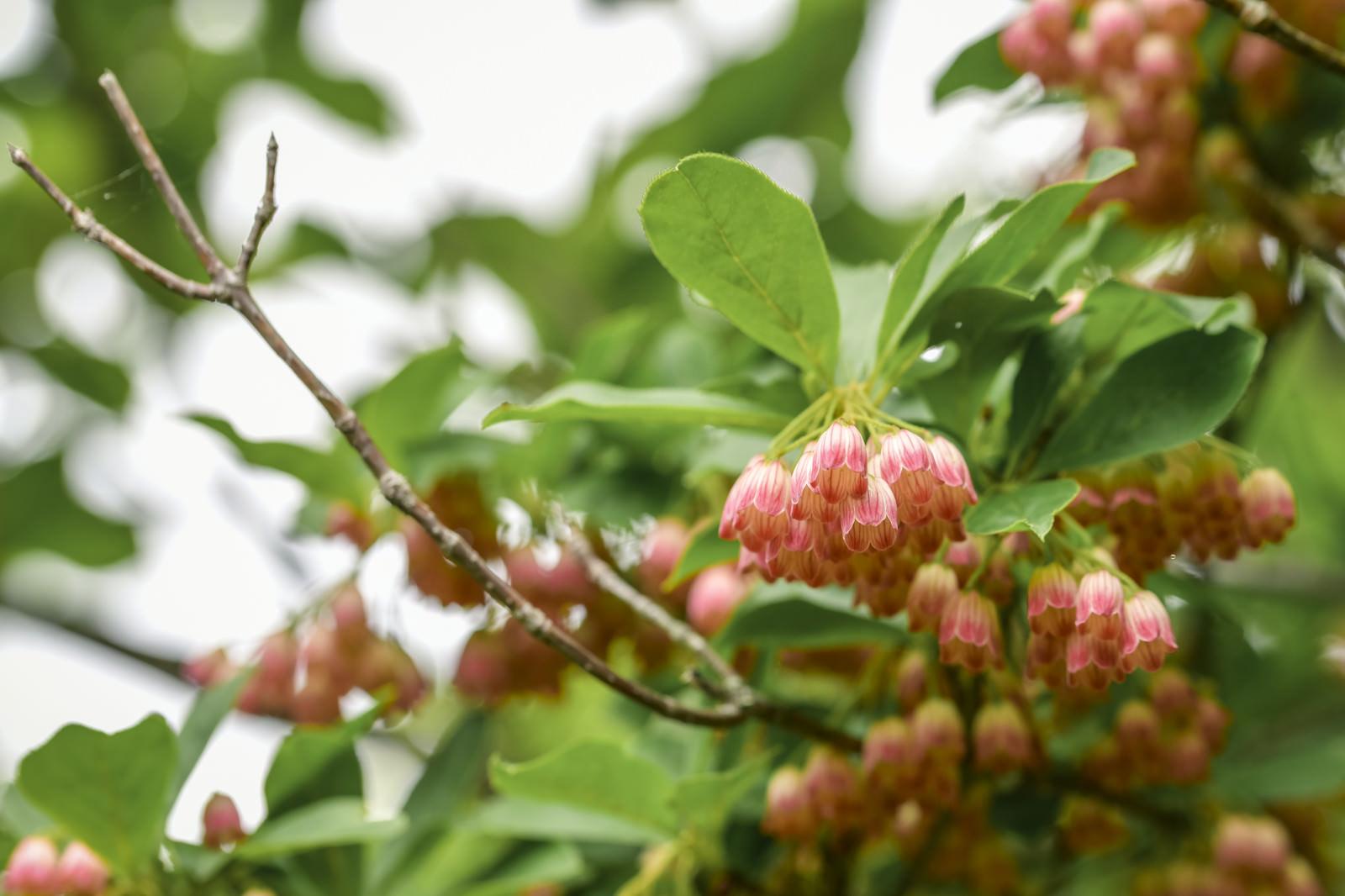 「満開に咲くサラサドウダン(更紗満点星)」の写真