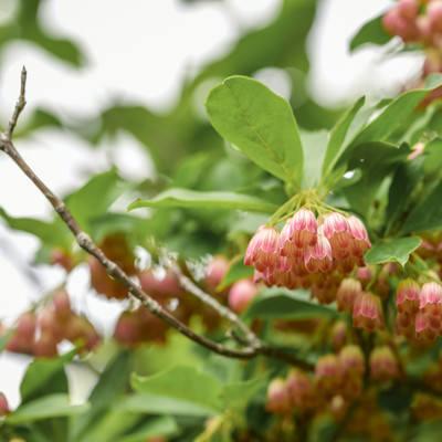 満開に咲くサラサドウダン(更紗満点星)の写真