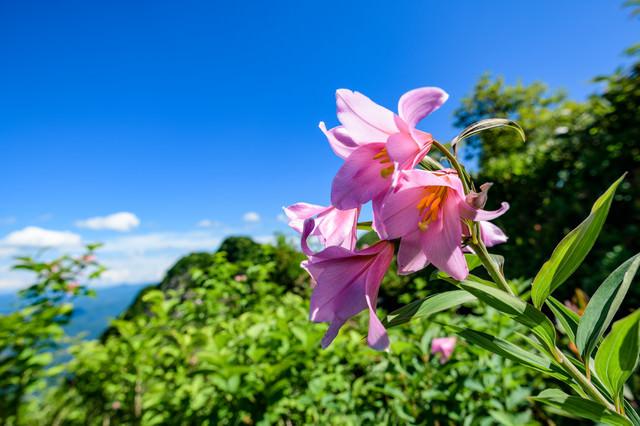 青空とヒメサユリ(オトサユリ)の写真