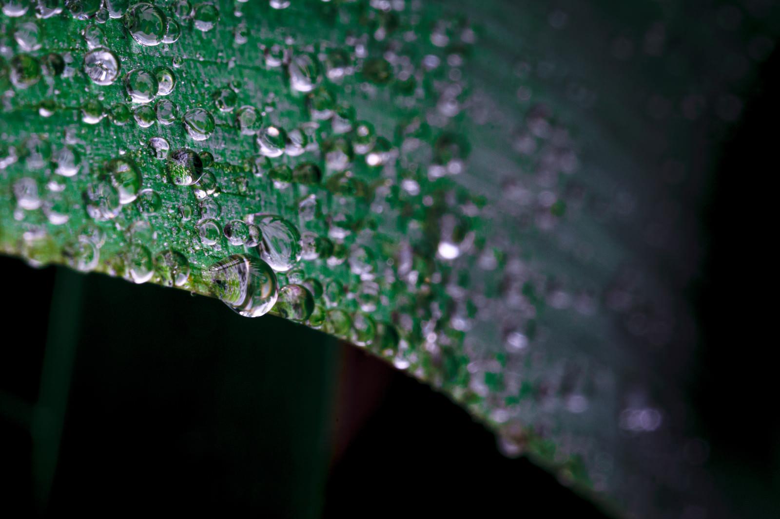 「葉から滴り落ちそうな雨粒」の写真