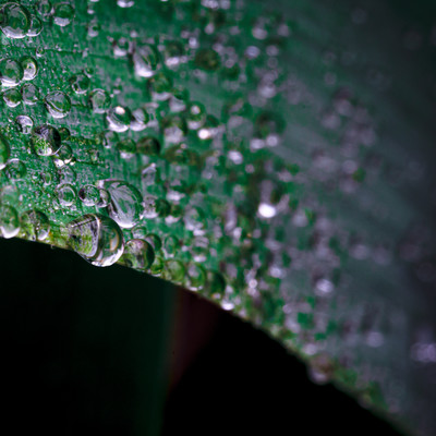 葉から滴り落ちそうな雨粒の写真