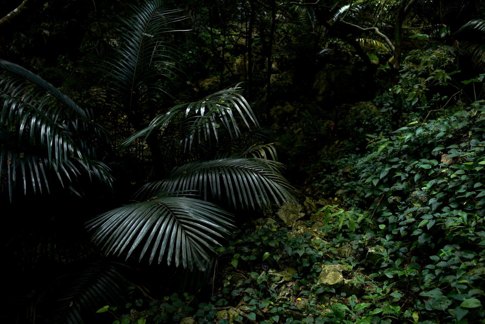 「嘉津宇岳の密林(沖縄県)」の写真