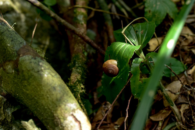 密林に潜むカタツムリ(沖縄県)の写真