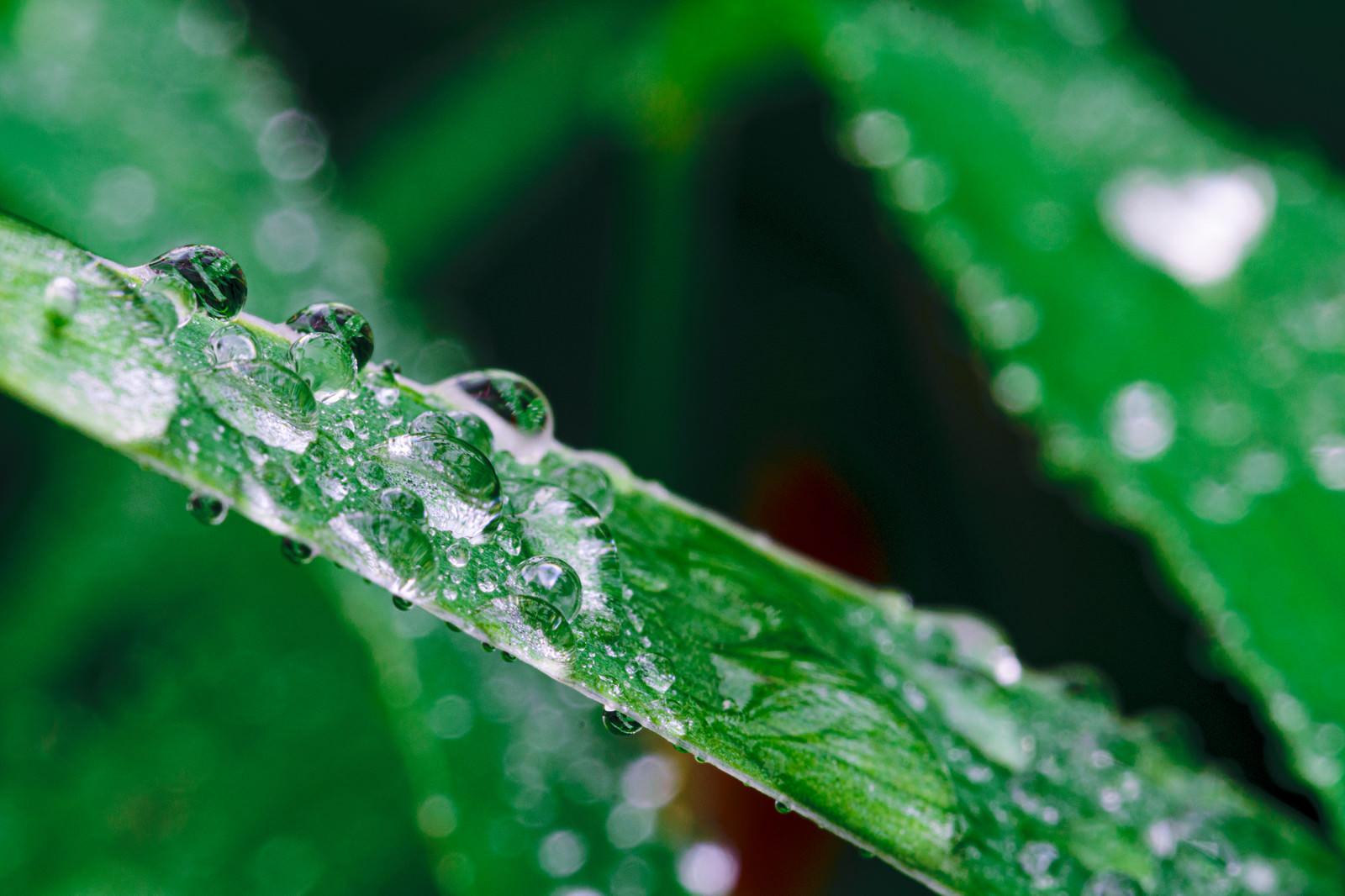 「草の上から流れ落ちない根性ある水滴」の写真