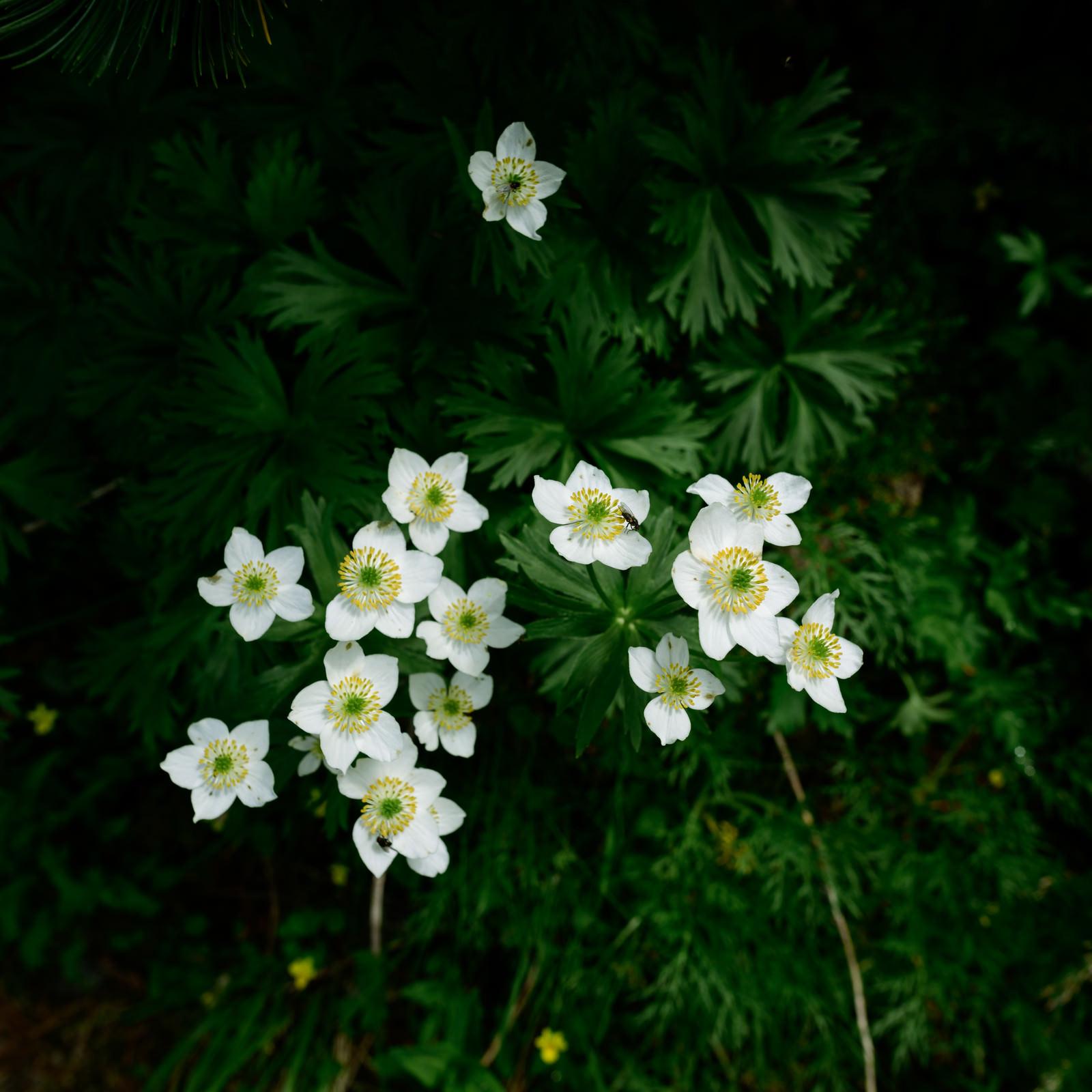 「ハクサンイチゲの花(高山植物)」の写真