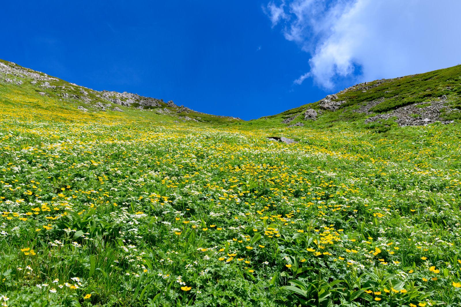 「悪沢岳のお花畑(南アルプス)」の写真