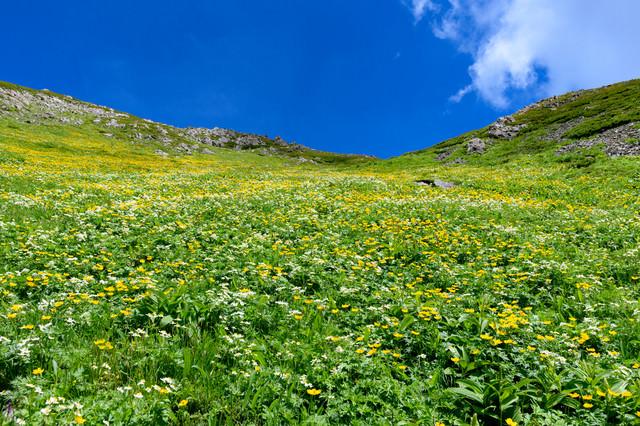 カールに咲き乱れる高山植物(悪沢岳)の写真