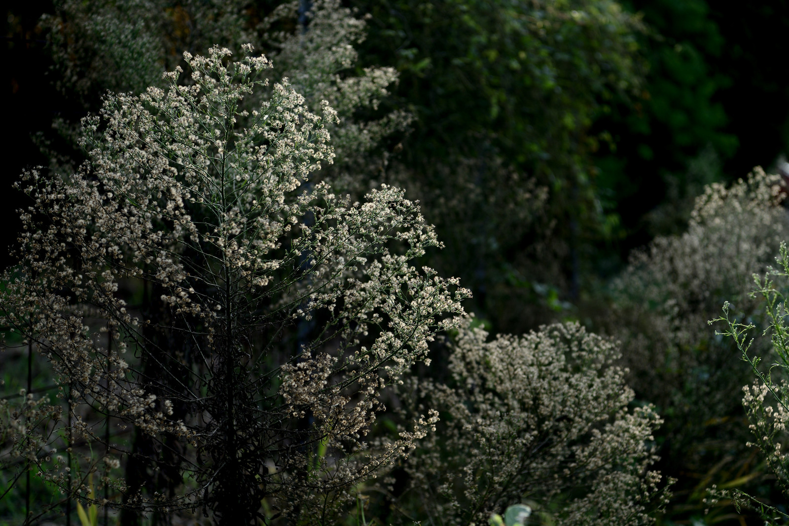 「道端に育つ綿毛のある植物」の写真