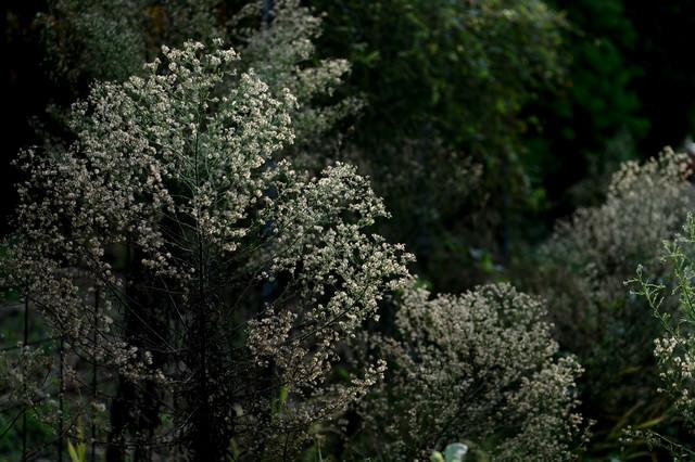 道端に育つ綿毛のある植物の写真