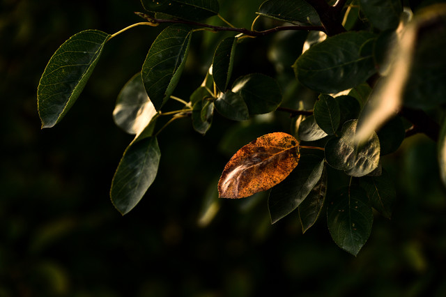 一枚だけ紅葉した葉っぱの写真