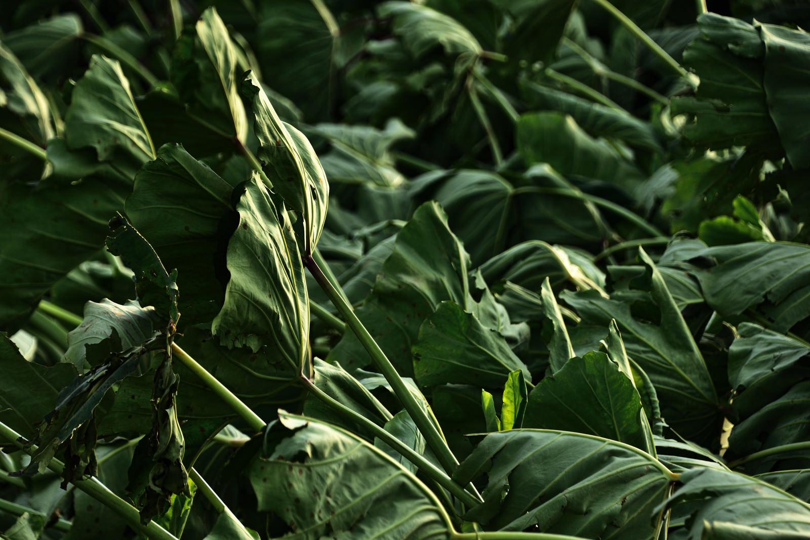「台風でなぎ倒された里芋の葉」の写真