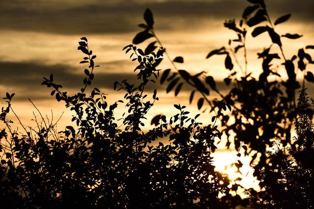 黄金色に染まる夕日と木々のシルエットの写真