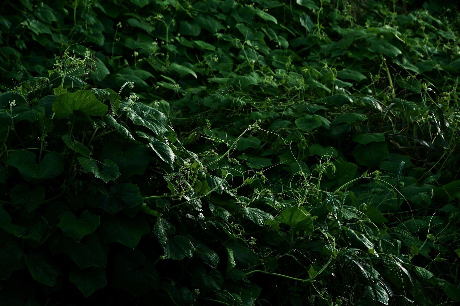 「鬱蒼と生い茂ったつる植物」の写真