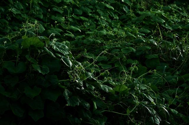 鬱蒼と生い茂ったつる植物の写真