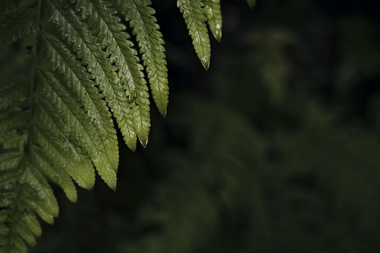 「シダの先端から滴る雫」の写真