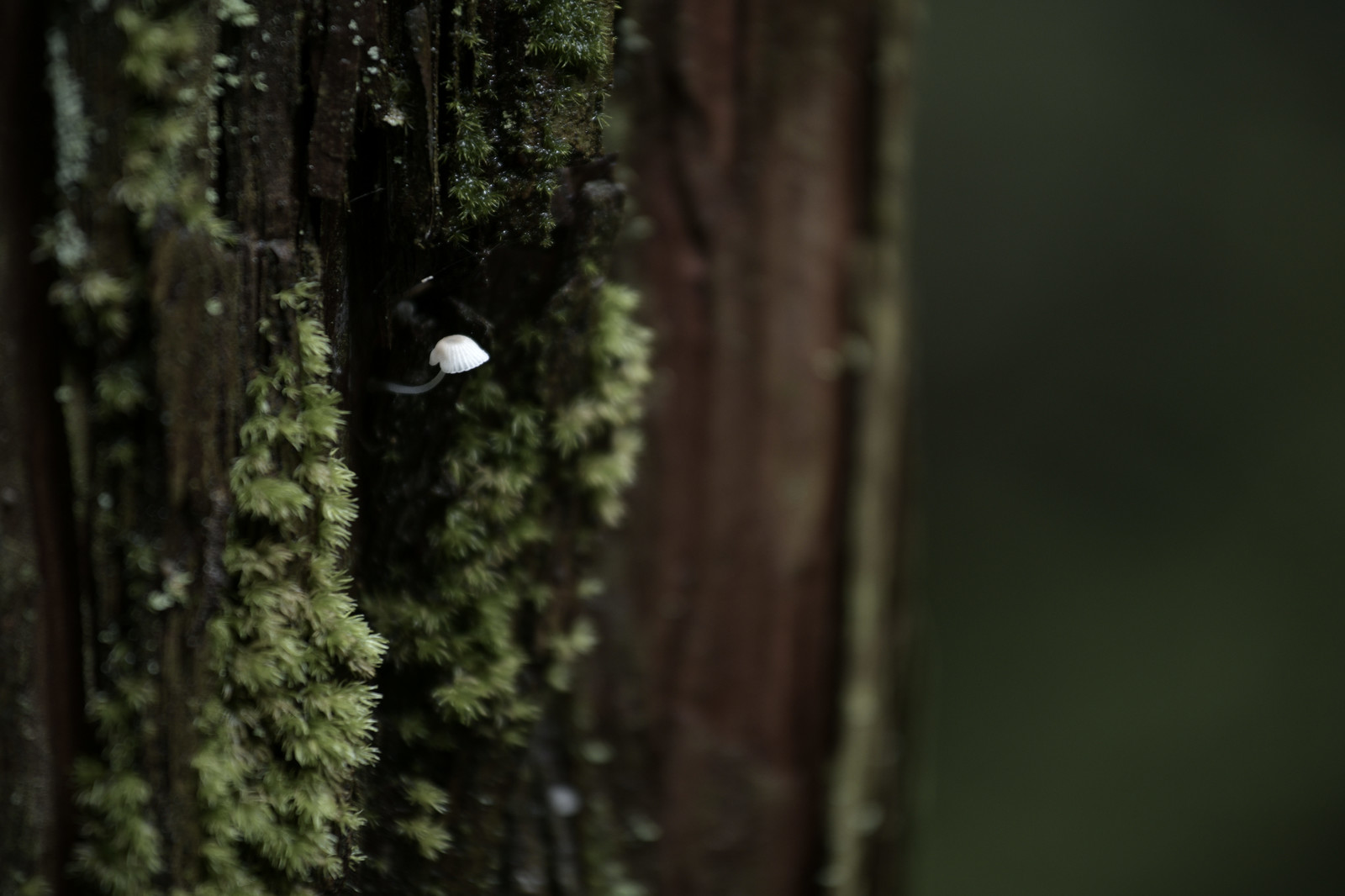 「杉の幹から生えたキノコ」の写真