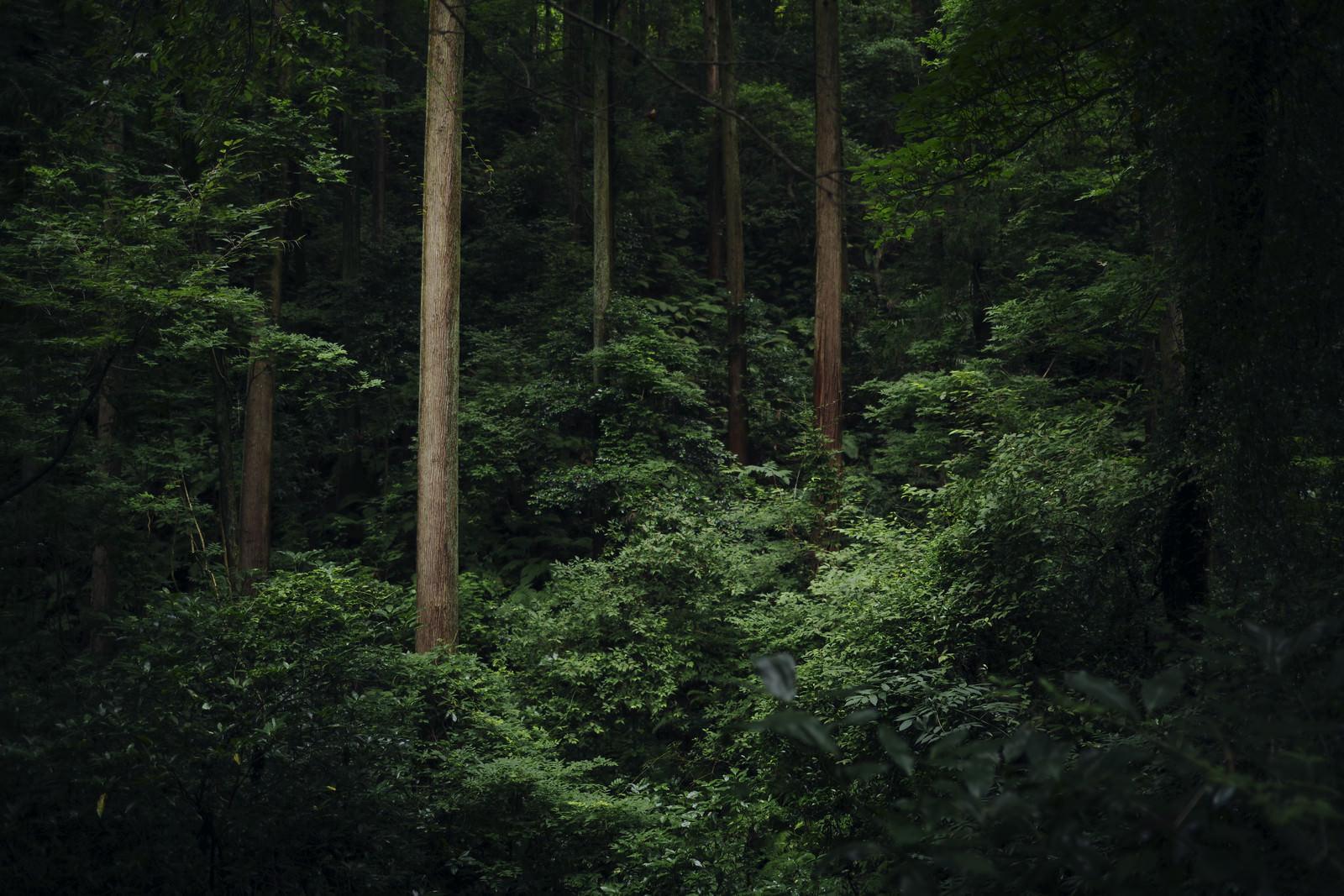 「杉林で浮かび上がる立派な杉の木」の写真