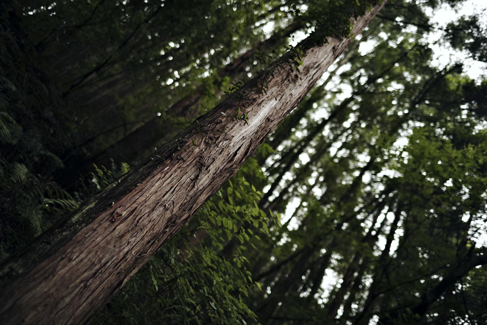 「杉林に生える一本の杉」の写真