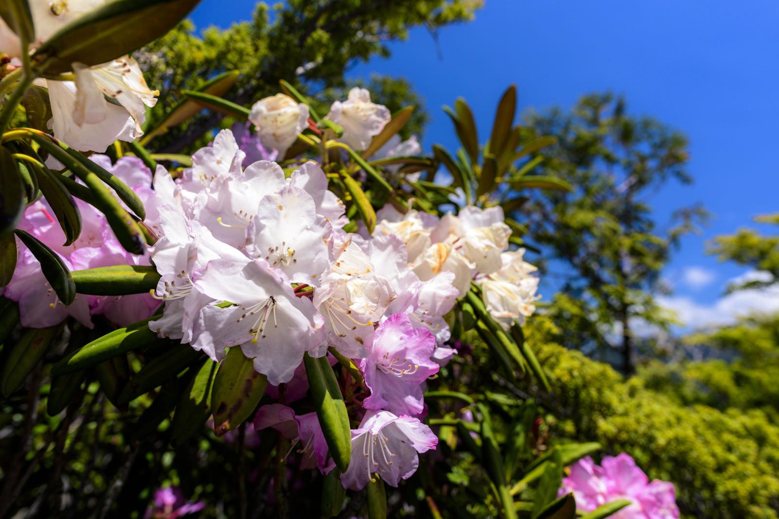 「太陽を浴びる瑞牆山に咲くシャクナゲ」の写真