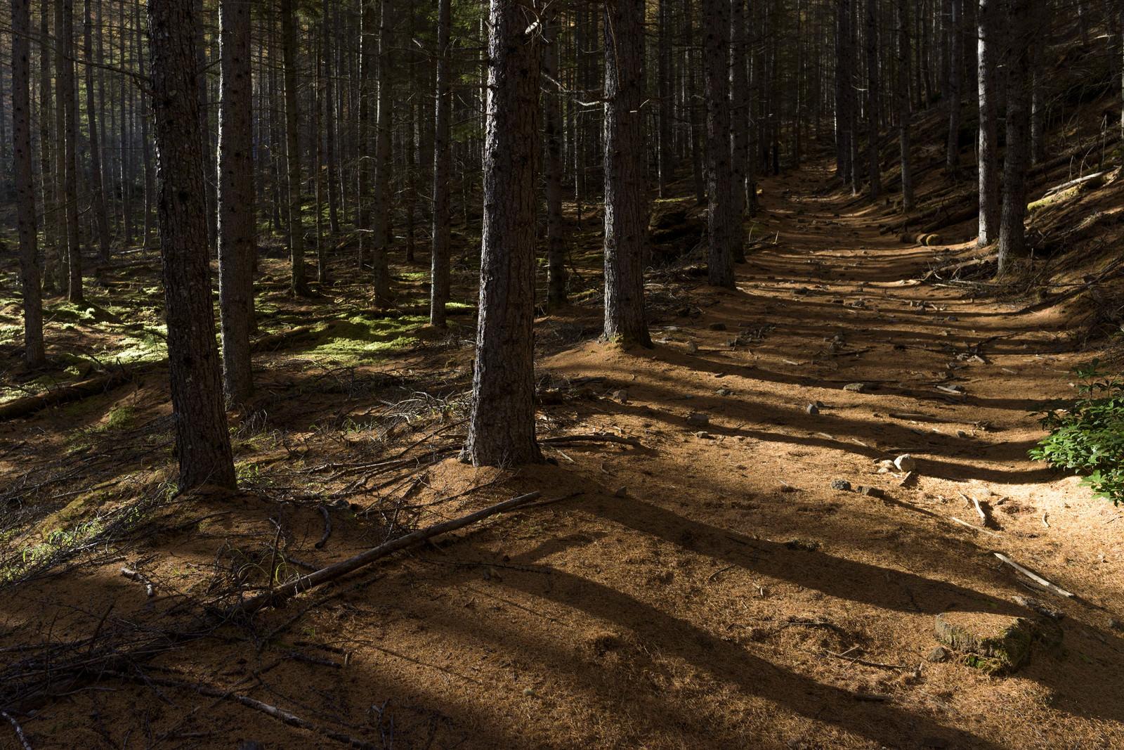 「どこまでも続くカラマツ落葉の登山道(甲武信ヶ岳)」の写真