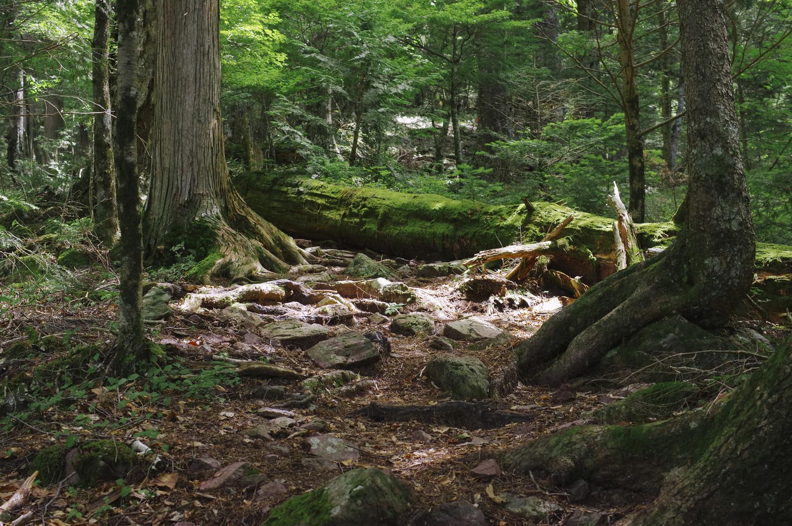 「コケに包まれる巨木が何本もある聖岳登山道」の写真