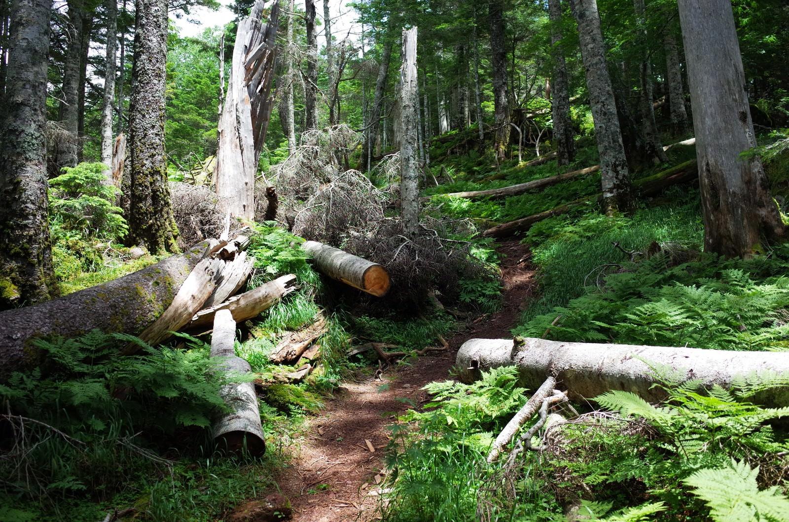 「倒木がきれいに斬られた聖岳登山道」の写真