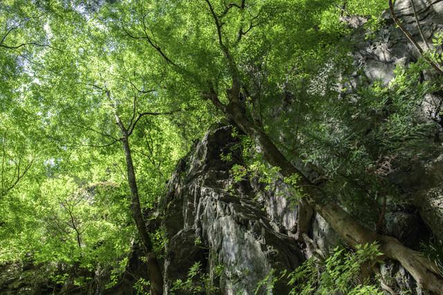 川苔山へ向かう林道を彩る新緑の木々の写真
