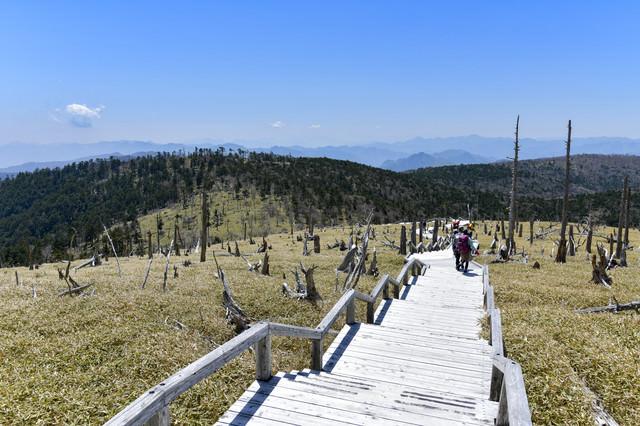 立ち枯れの木々と散策する登山者(大台ヶ原山頂周辺)の写真
