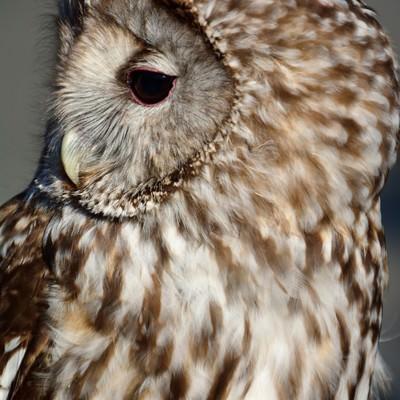 「フクロウの横顔」の写真素材